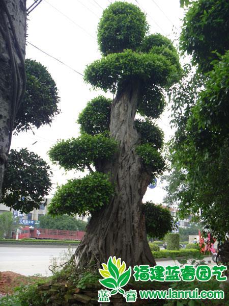 大榕树,榕树景观